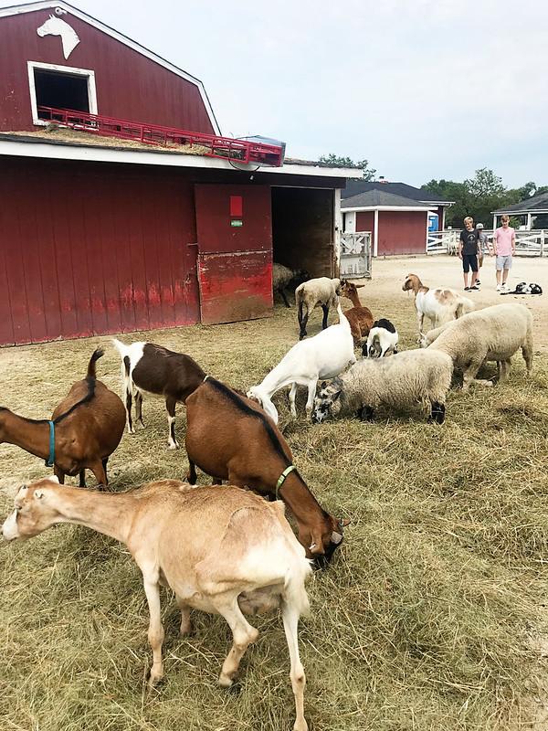 lambsfarm-0818i