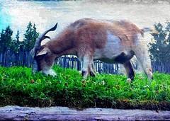 Goatis rooficus