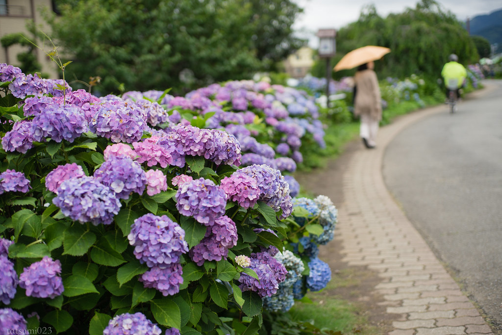 2018-06-16 開成町の紫陽花 005