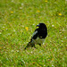 Magpie, Toposcope Hill, Baggeridge Country Park