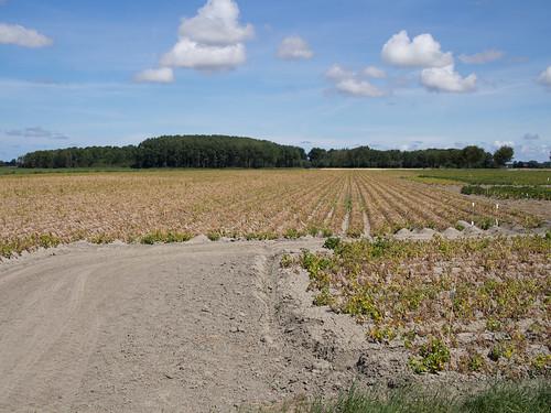 Verdord aardappelveld