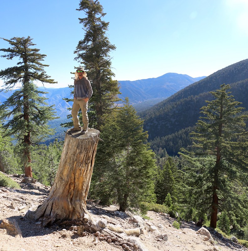 Climbing on a very tall pine tree stump on the San Bernardino Peak Trail