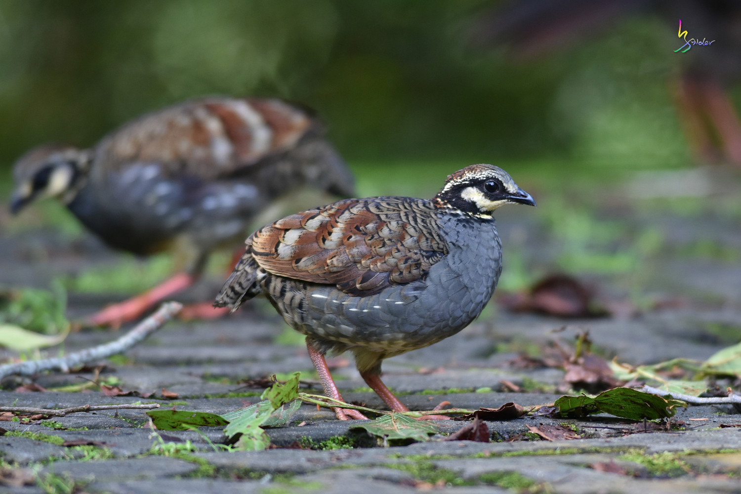 Taiwan_Hill_Partridge_0935