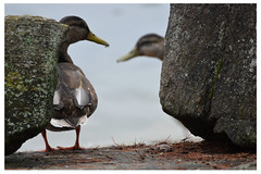ducks on the rocks