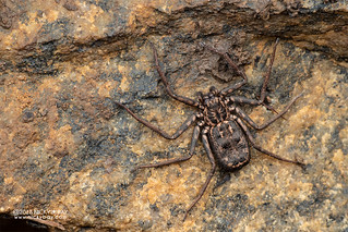 Flatty spider (Hovops sp.) - DSC_7748