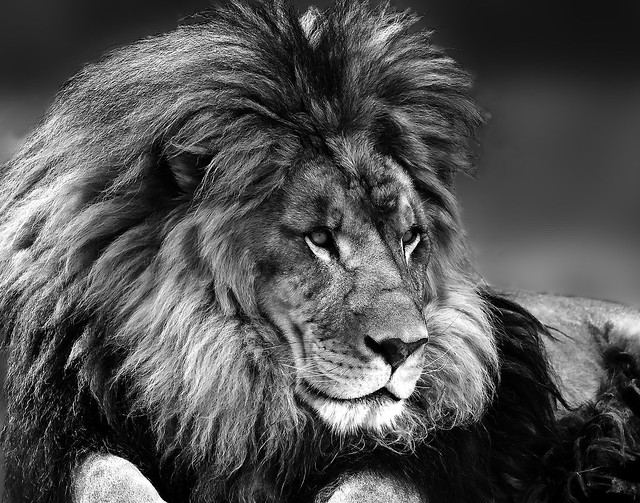024693763612-102-The Mighty Lion-12-Black and White