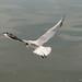 Gulls lunch