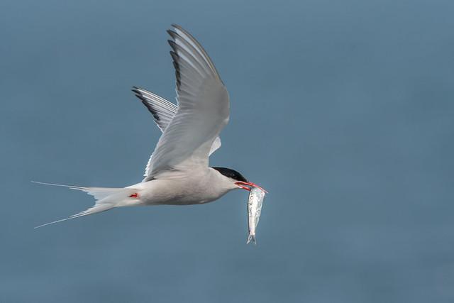 Tern of Paradise? (Sterna paradisaea)