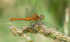 Ruddy Darter (Sympetrum sanguineum) immature male ... - Photo of Durcet