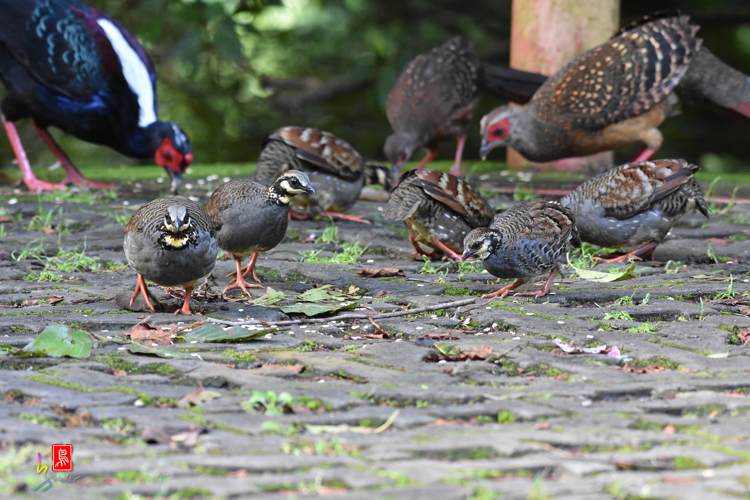 Taiwan_Hill_Partridge_5775