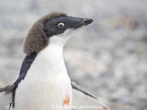adelie-penguin-chick