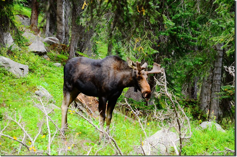 Moose at South Boulder Creek Trail (4)