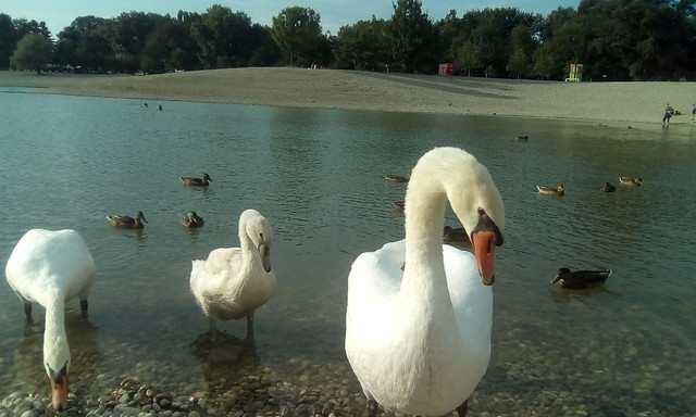 The swan family comes to visit me