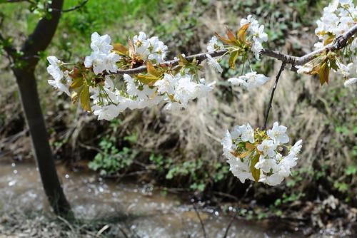 DAV_0664 Cerezo en flor