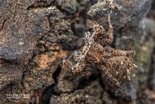 Jumping spider (Portia cf. schultzi) - DSC_3809