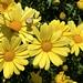marguerite daisy por ikarusmedia