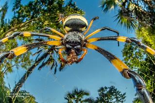 Golden orb weaver (Trichonephila senegalensis) - DSC_3633