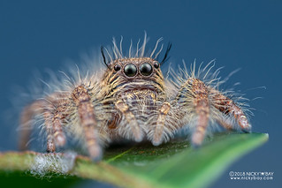 Jumping spider (Hyllus sp.) - DSC_3719
