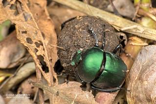 Dung beetle (Garreta nitens) - DSC_3362