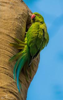 :: Rose Ringed Parakeet / সবুজ টিয়া ::