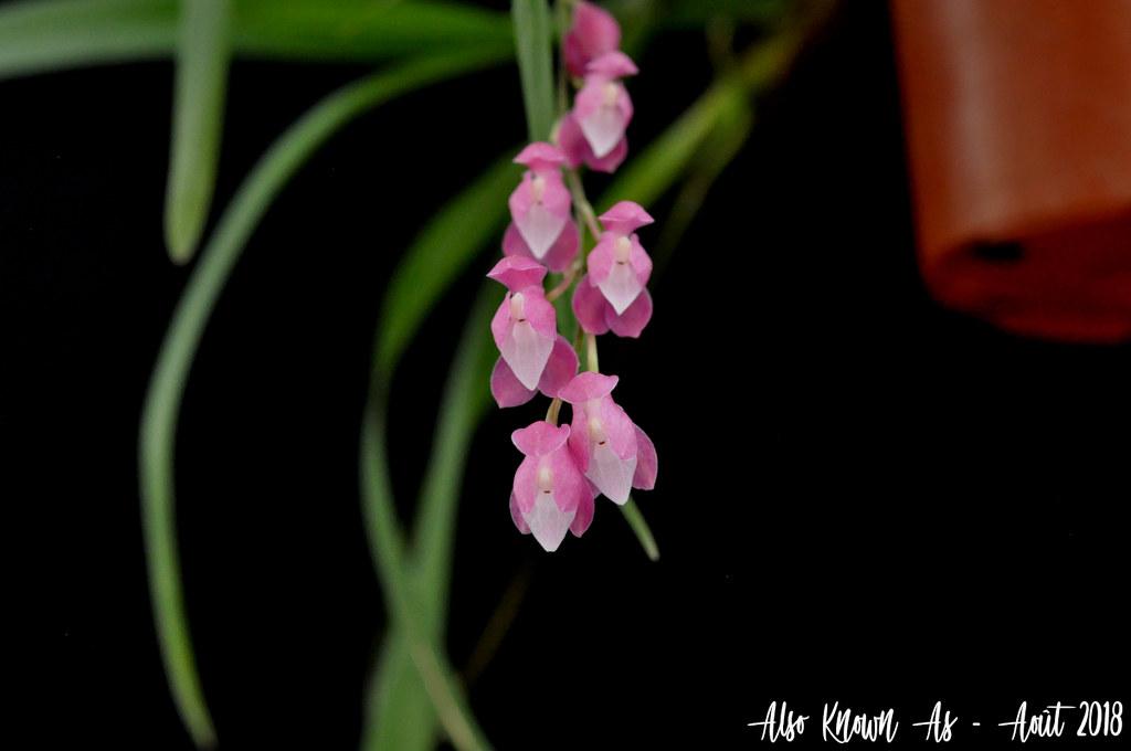 Oncidium strictum (ex Symphyglossum sanguineum) 43072236264_59799023b5_b