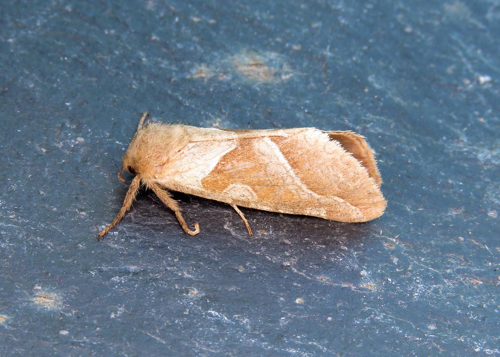 3.001 Orange Swift - Triodia sylvina