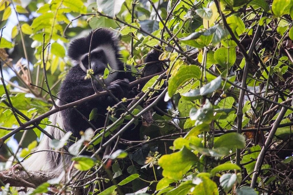 _Kili_return_12_colobus monkey_7 iul18_2