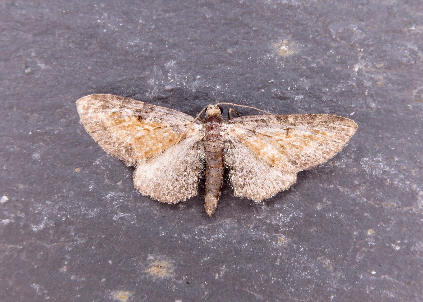 70.187 Tawny Speckled Pug - Eupithecia icterata