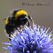 Buff Tailed Bumble Bee