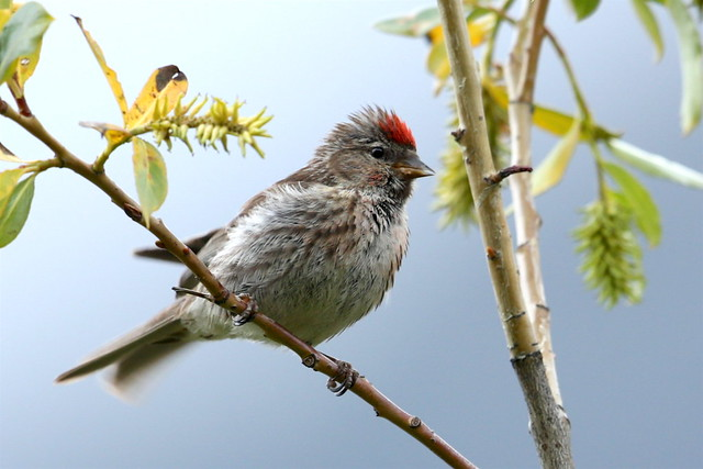 Lesser Redpoll, Canon EOS 5D MARK III, Canon EF 500mm f/4L IS II USM