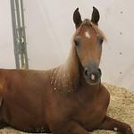 Arabian Horse Show 2018