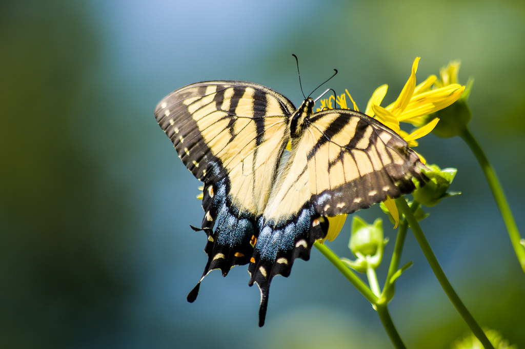 Tiger Swallowtail (female)