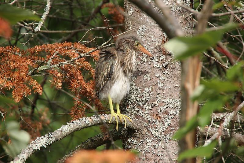 Héron vert nidification jeunes 29033828497_8ca59da1e4_c