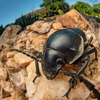 Darkling beetle? (Tenebrionidae) - DSC_2977
