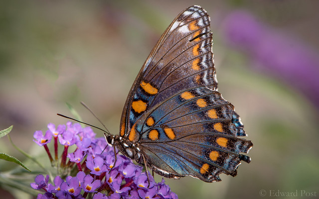 Red-spotted Purple (Limenitis arthemis), Nikon D500, AF-S VR Micro-Nikkor 105mm f/2.8G IF-ED