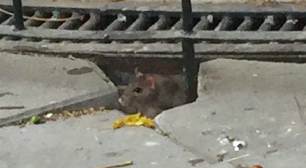 ratas san martin de porres