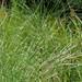 Marsh Horsetail - Equisetum palustre