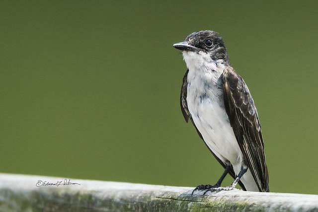 Eastern Kingbird On A Railing