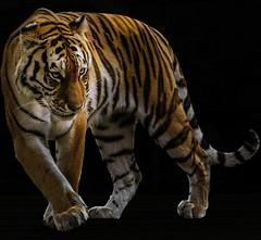 Tiger 2....