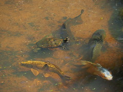 Japanese pond turtles (Mauremys japonica, ニホンイシガメ) and carp