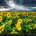Bulgaria - Sunflower field in full bloom during stormy evening by © Lucie Debelkova / www.luciedebelkova.com