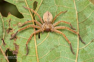 Huntsman spider (Olios sp.) - DSC_3235