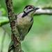 Woodpecker Watchtree Nature Reserve F00307 D210bob DSC_3831