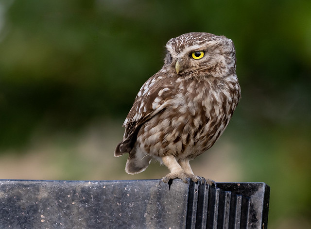 Little Owl, Canon EOS 7D MARK II, Canon EF 500mm f/4L IS