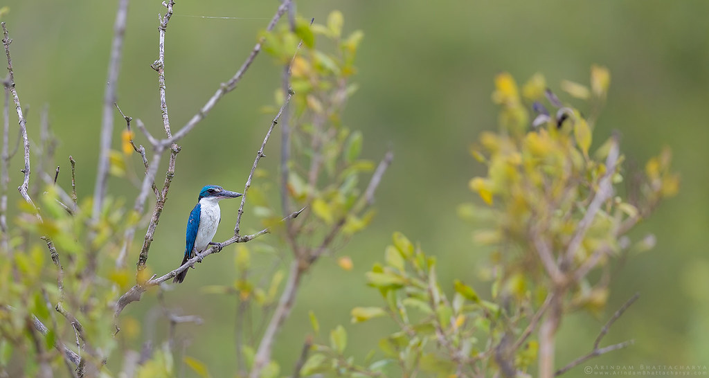 Collard Kingfisher - a common species of the mangroves of Sunderbans