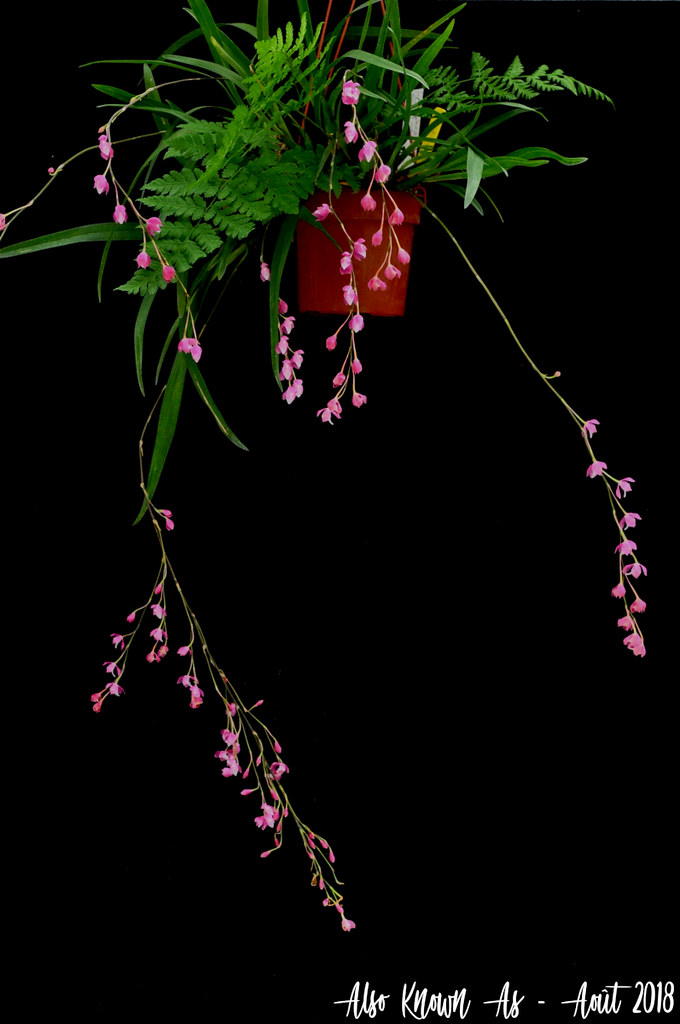 Oncidium strictum (ex Symphyglossum sanguineum) 43072225004_ab6de8a7d8_b