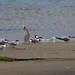 Common Terns  25