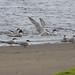 Common Terns  29