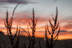 Hedon field sunset plants