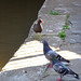 Moorhen and two townpigeons, 2018 Jul 08